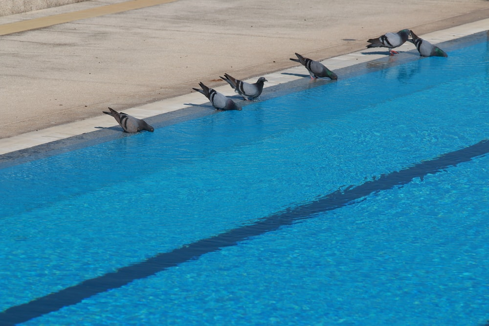 how to stop birds from congregating in your backyard swimming pool