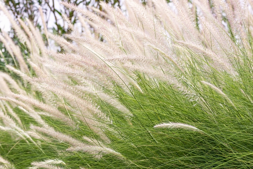Drought tolerant landscaping for your home pacific sun pool and spa - Drought tolerant grass varieties ...
